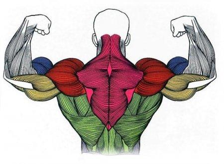 Наши мышцы