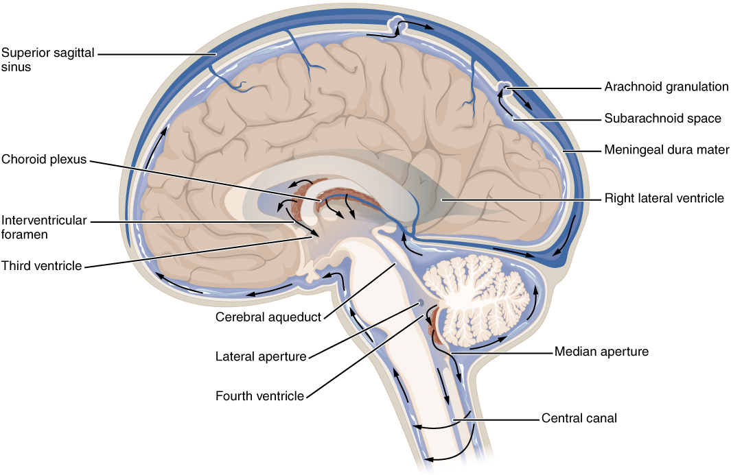циркуляция-спиномозговой-жидкости