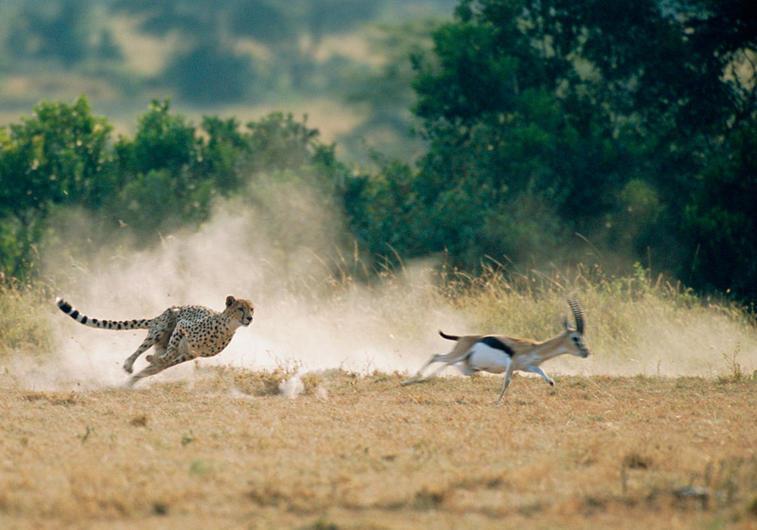 гепард охота