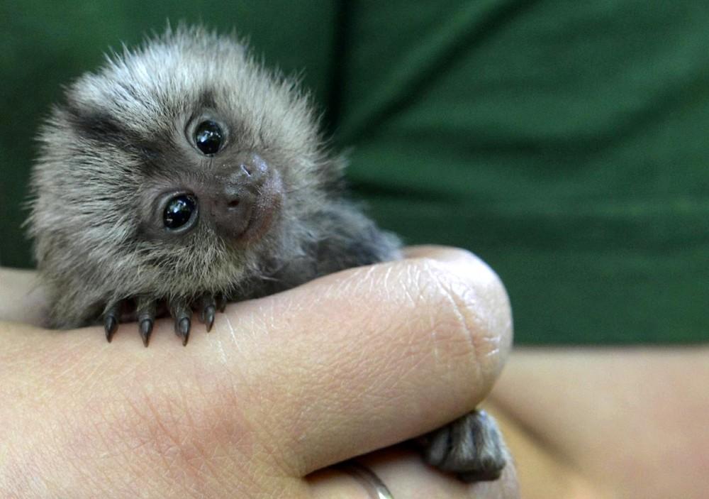 Картинки самой маленькой обезьянки в мире мост предназначен