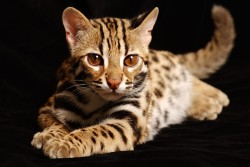 кошка как тигр