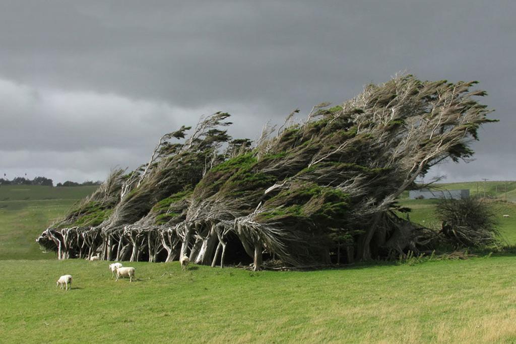 гнутое дерево Новая Зелан