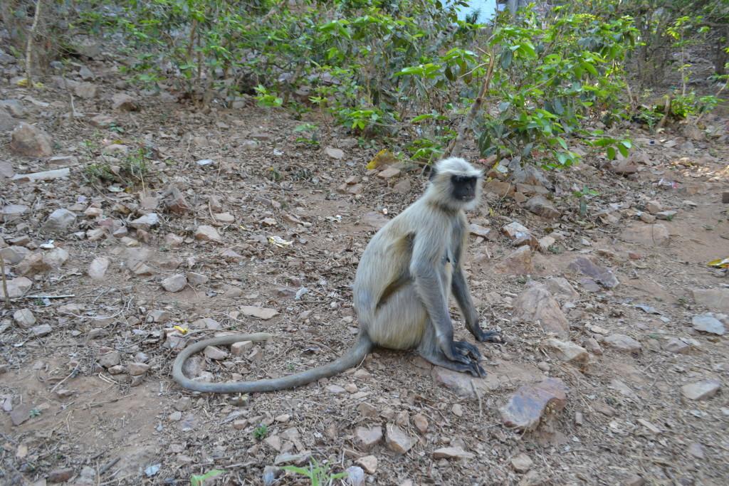 обезьянки в Индии
