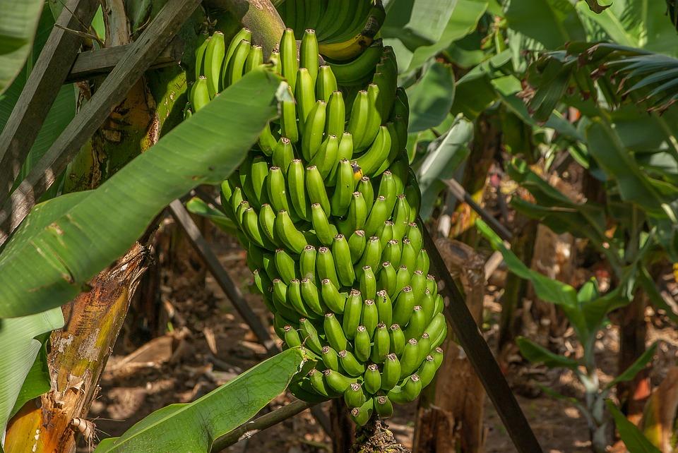 гроздья бананов