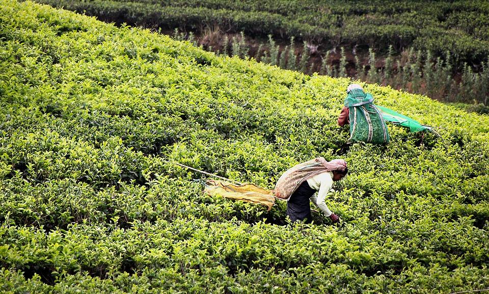 сбор чая в шри ланке